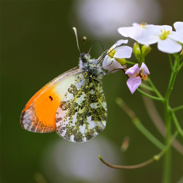Schmetterling_8