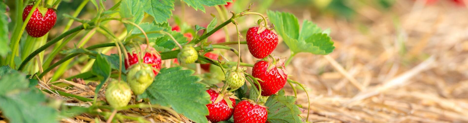 erdbeeren aussäen