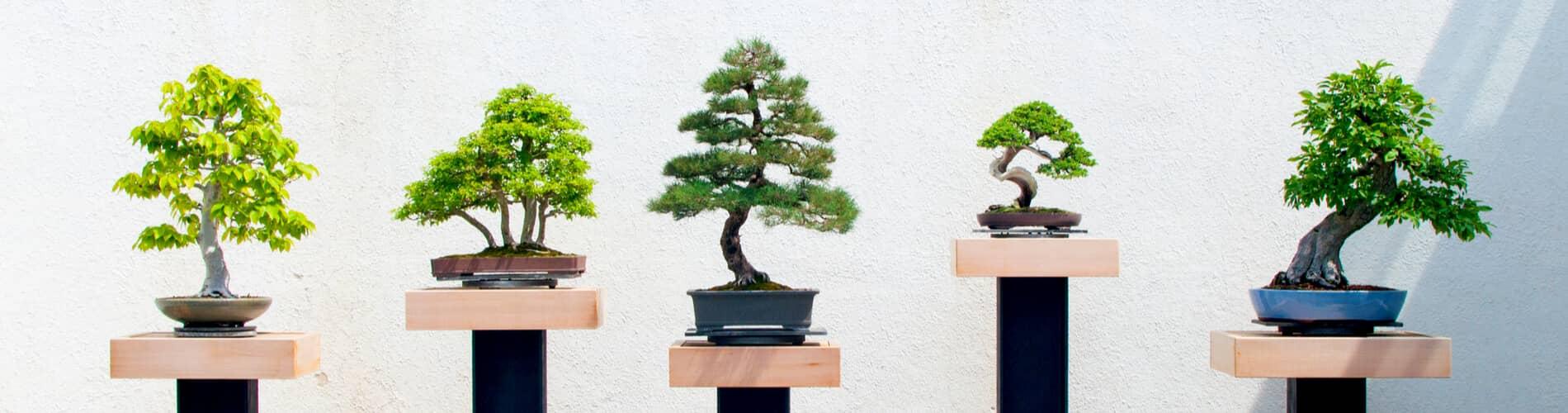 Bonsai Baum Pflegen Schneiden Ursprung Arten Saemereien Ch