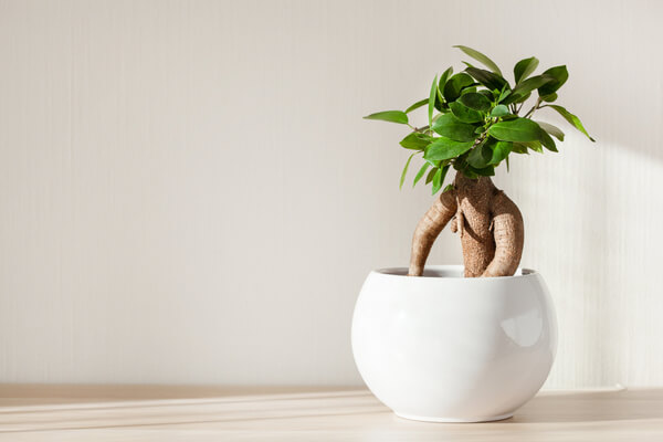 Chinafeige Bonsai (Ficus microcarpa)