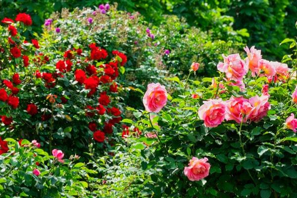 Rosen Pflege Schneiden Pflanzen Dungen Saemereien Ch