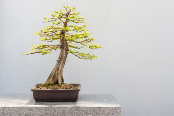 Sumpfzypresse-Bonsai (Taxodium distichum)