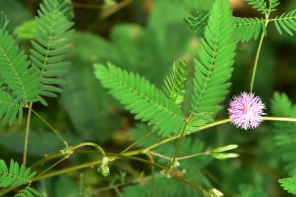 Reagiert auf Berührung Sinnpflanze Echte Mimose Mimosa Pudica Samen