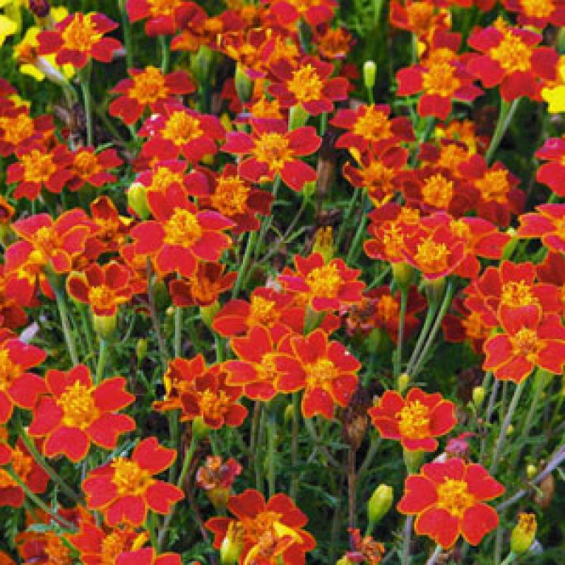 samen saatgut studentenblume tagetes 39 paprika 39 tagetes. Black Bedroom Furniture Sets. Home Design Ideas