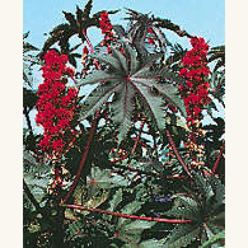 Samen Saatgut Wunderbaum Carmencita