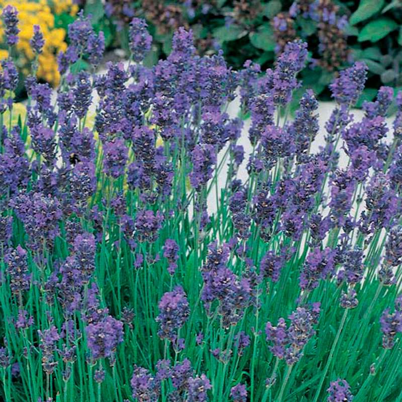 samen saatgut lavendel 39 munstead dwarf 39 lavandula angustifolia. Black Bedroom Furniture Sets. Home Design Ideas