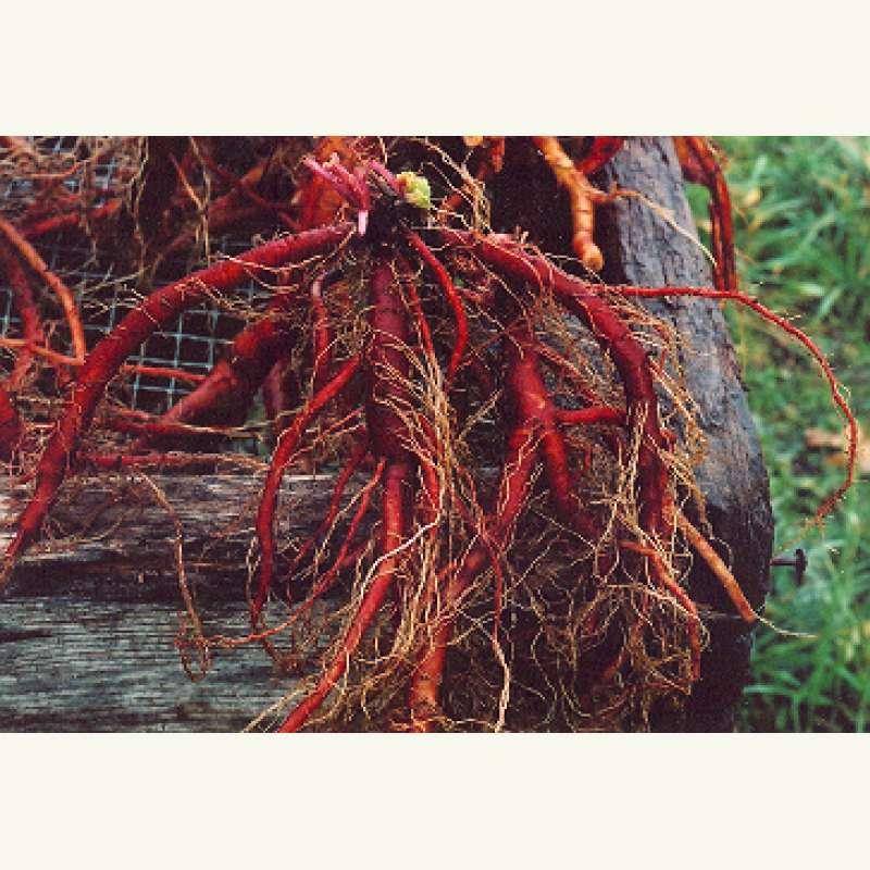Samen saatgut salbei rotwurzelsalbei 39 dan shen 39 salvia miltiorrhiza - Wandfarbe salbei kaufen ...