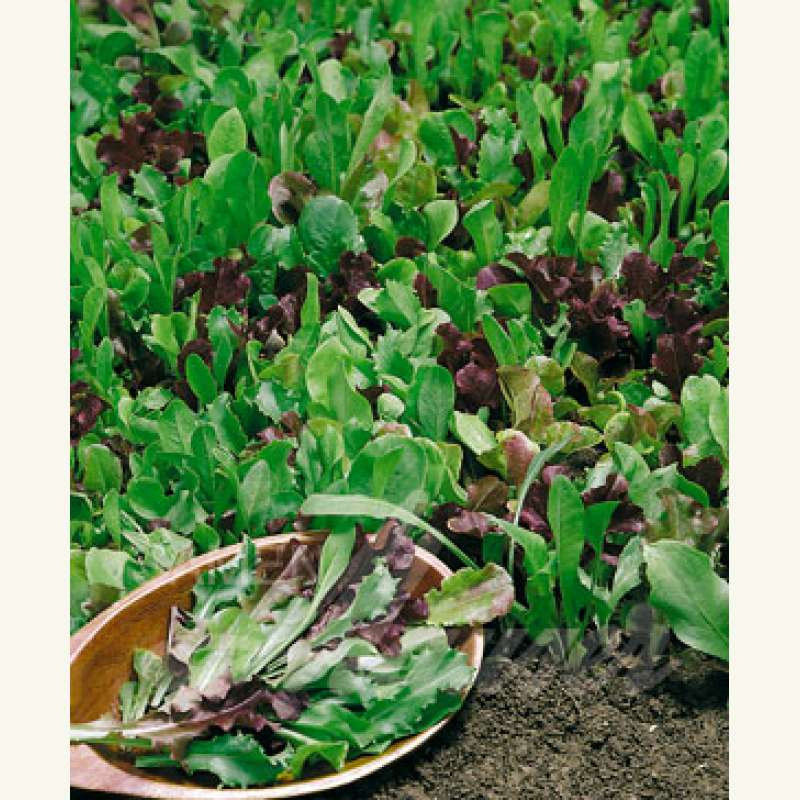samen saatgut salat 39 lollo mix 39 lactuca sativa var. Black Bedroom Furniture Sets. Home Design Ideas