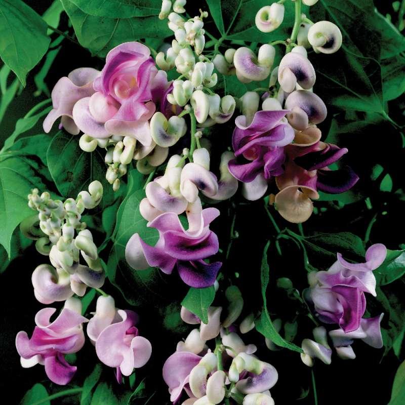 Samen Saatgut Schneckenblume Phaseolus Caracalla