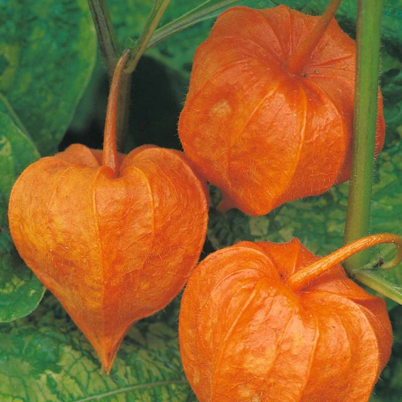 samen saatgut lampionblume physalis 39 chinese lanterns. Black Bedroom Furniture Sets. Home Design Ideas