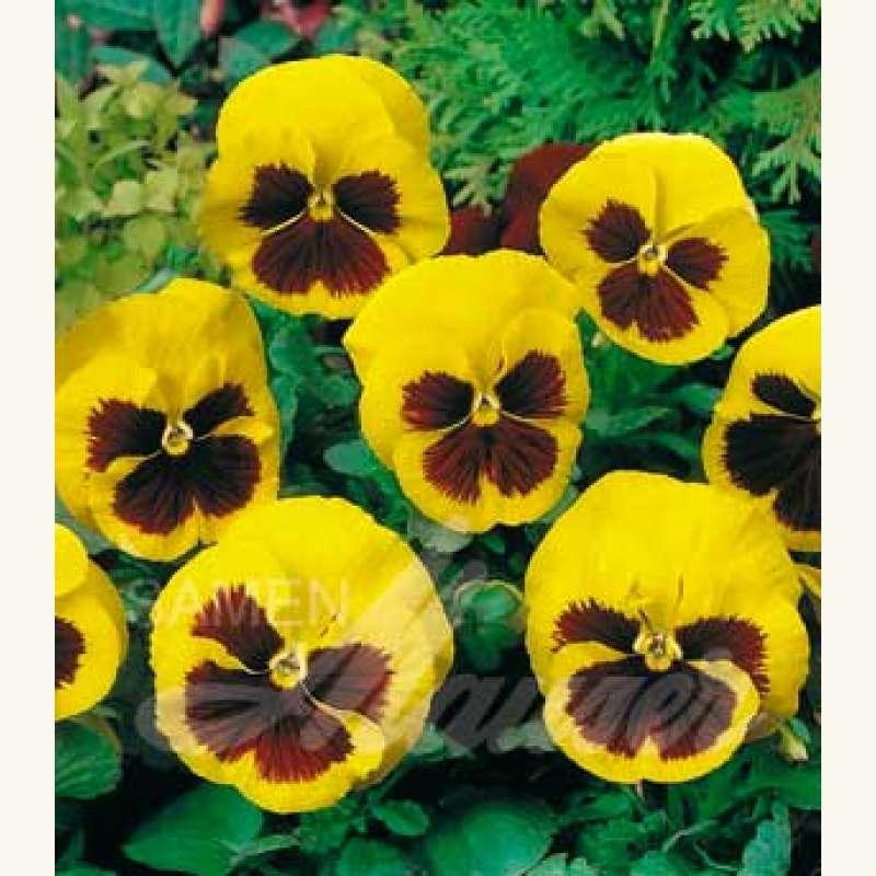 samen saatgut stiefm tterchen riesen gelb m auge viola tricolor maxima. Black Bedroom Furniture Sets. Home Design Ideas