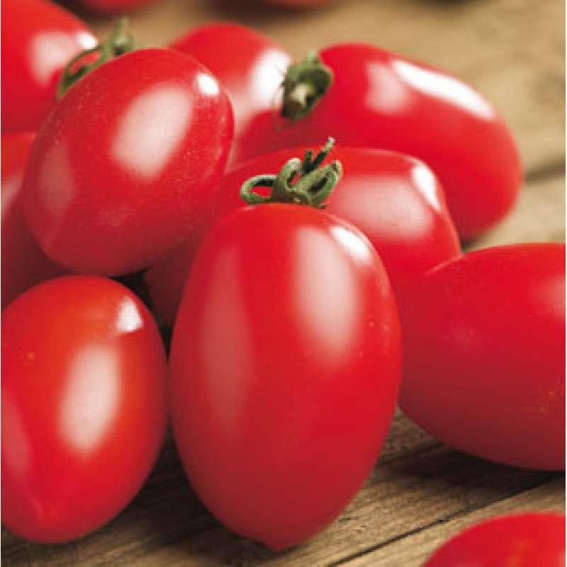 tomate berner rose samen
