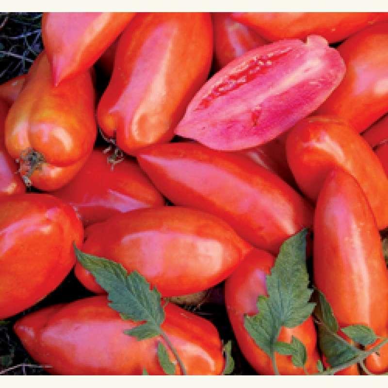 40 graines seeds de tomate along e roma ebay - Faire pousser des tomates sur un balcon ...