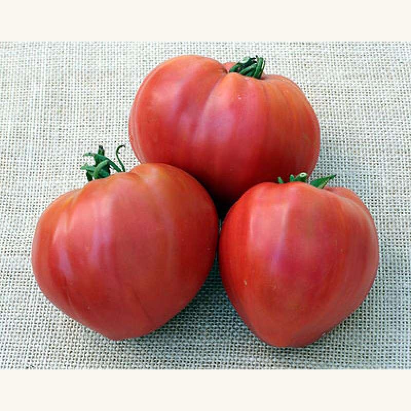 tomate berner rose pflege