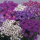 samen saatgut petunie 39 sparklers 39 petunia hybrida. Black Bedroom Furniture Sets. Home Design Ideas