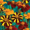 Tagetes, Studentenblume \'Pots of Gold\' -...