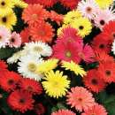 Gerbera jamesonii...