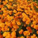 Kalifornischer Mohn,...