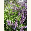 Salbei - Salvia officinalis...