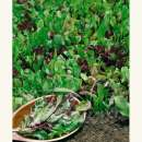 Salat \'Lollo Mix\' - Lactuca sativa var....