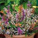 Agastache, Durtnessel  \'Fragrant Mix\' -...