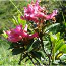 Alpenrose - Rhododendron...