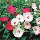 samen saatgut rose multiflora nana perpetua. Black Bedroom Furniture Sets. Home Design Ideas