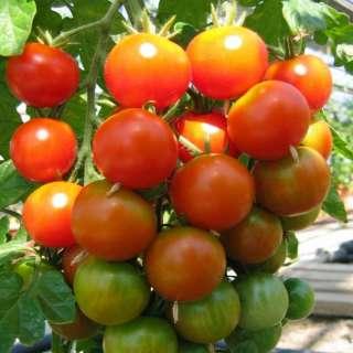 samen saatgut tomate 39 obsttomate freude 39 lycopersicon. Black Bedroom Furniture Sets. Home Design Ideas