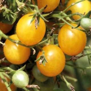 samen saatgut tomate 39 gelbe cherry 39. Black Bedroom Furniture Sets. Home Design Ideas