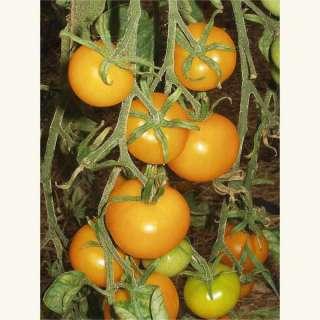 samen saatgut tomate 39 gelbe von thun 39. Black Bedroom Furniture Sets. Home Design Ideas