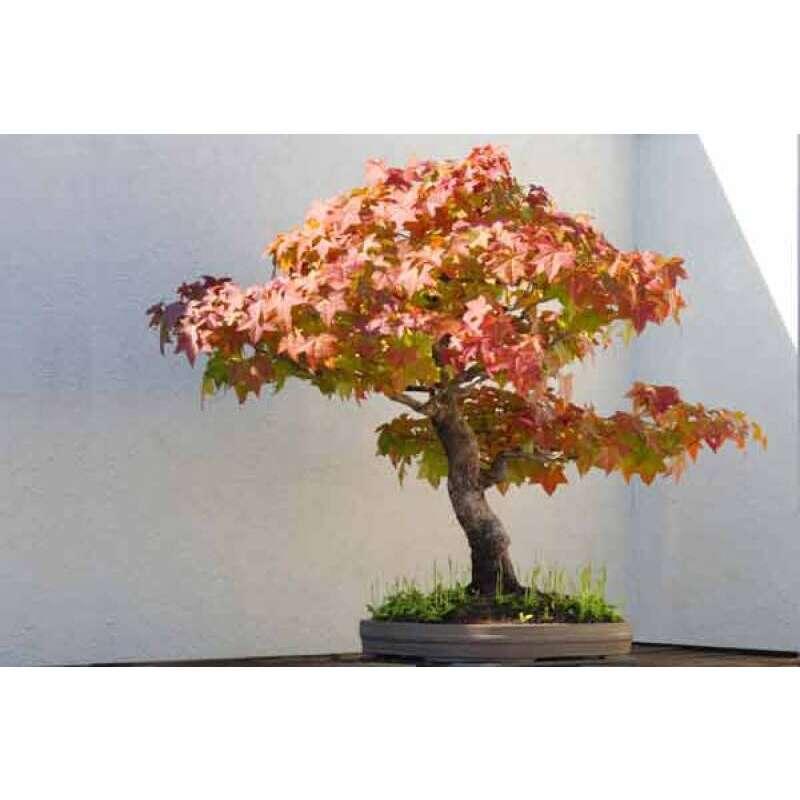Gemeinsame Bonsai, Amerikanischer Amberbaum Samen kaufen   Saemereien.ch #AL_85