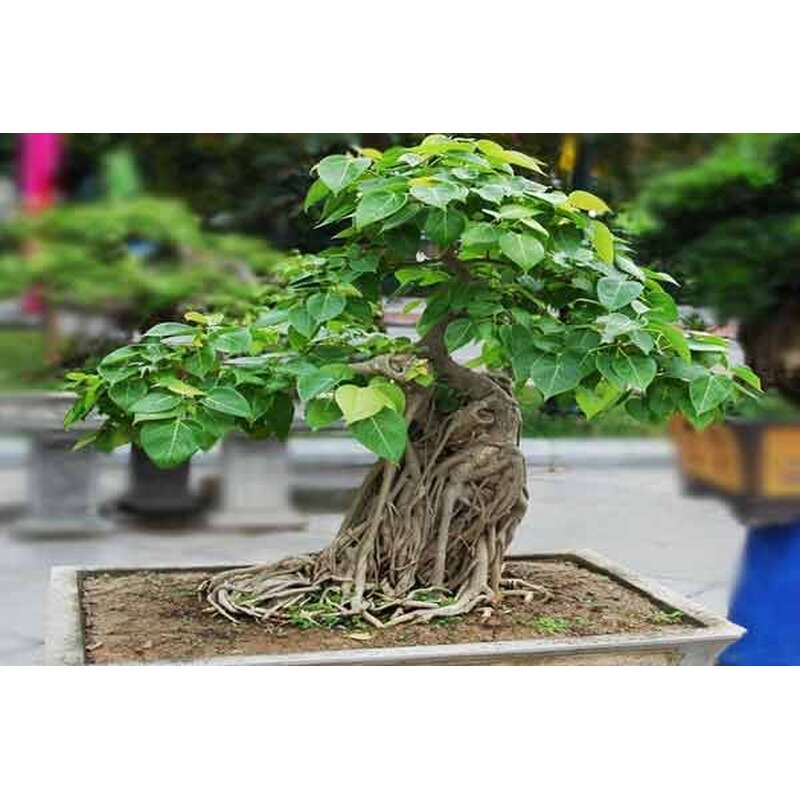Buddha feige ficus religiosa 4 48 - Hanf zimmerpflanze ...