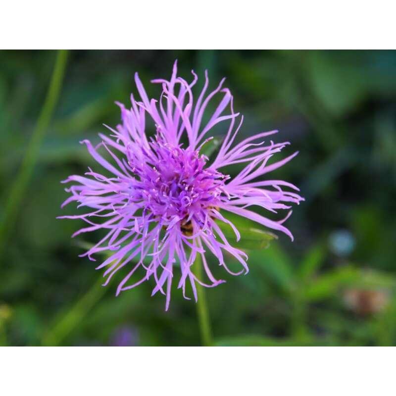 samen saatgut wildblume wiesen flockenblume centaurea jacea demeter biologische samen 5 21. Black Bedroom Furniture Sets. Home Design Ideas