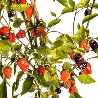 Chili Black Scorpion Tongue - Capsicum annuum - Samen