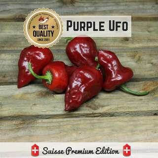 Chili Purple Ufo - Capsicum annuum  - Samen