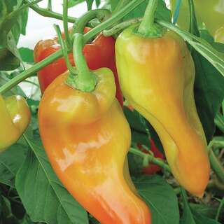 Chili, scharf Hungarian Semi-Hot - Capsicum annuum -...