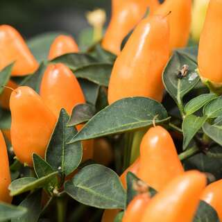 Chili, scharf Numex Thanksgiving - Capsicum annuum -...