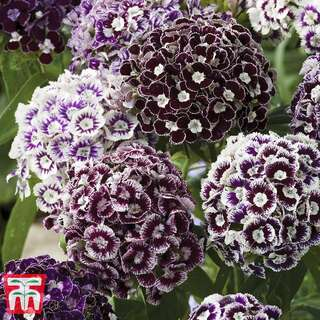 Bartnelke Purple Crown - Dianthus barbatus - Samen