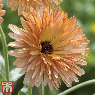 Ringelblume Orange Flash - Calendula officinalis - Samen