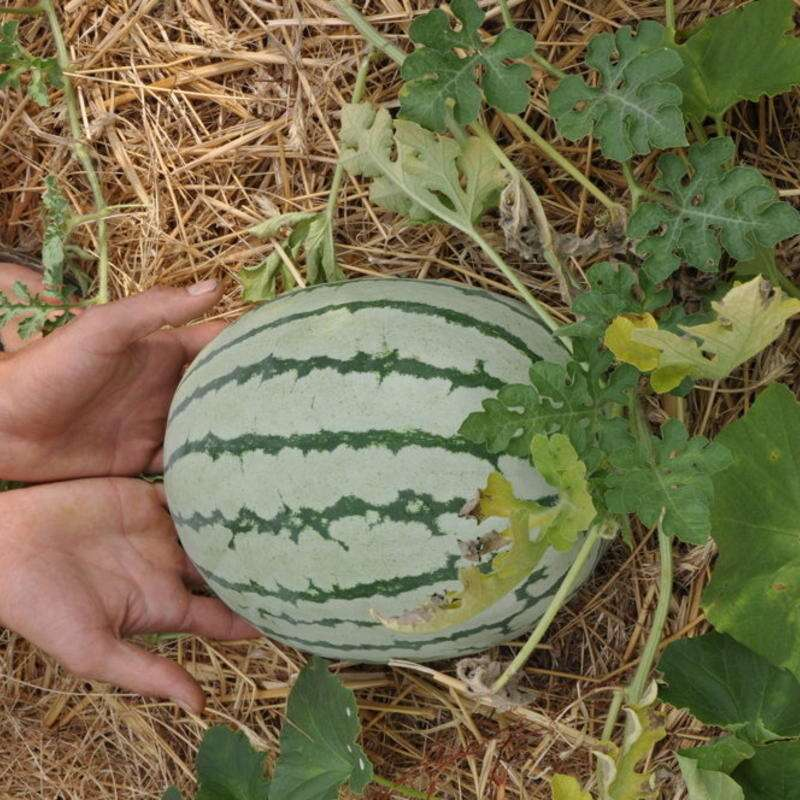 Wassermelone, gelb Early Moon Beam - Citrullus lanatus - BIOSAMEN