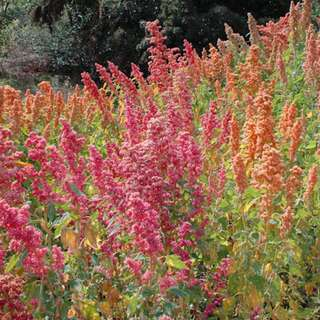 Quinoa Brightest Brilliant Rainbow - Chenopodium quinoa -...