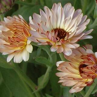 Ringelblume Strawberry Blonde - Calendula officinalis -...