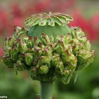 Mohn, Schlafmohn Hens And Chicks - Papaver somniferum -...