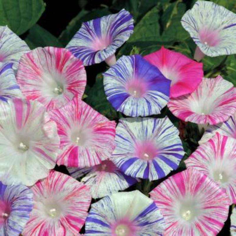 Winde, Purpur-Prunkwinde Harlequin Mix - Ipomoea purpurea - BIOSAMEN