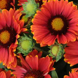 Kokardenblume Arizona Red Shades - Gaillardia aristata -...