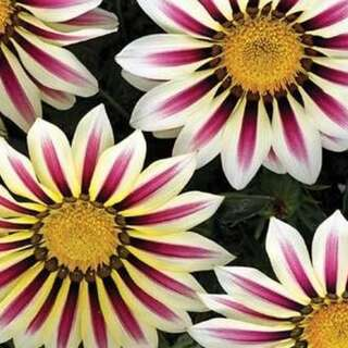 Mittagsgold, Gazanie Big Kiss White Flames - Gazania...