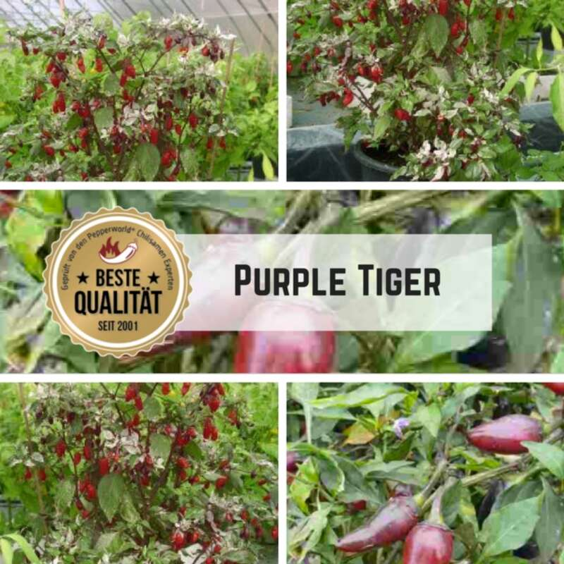Chili Purple Tiger - Capsicum annuum - Samen