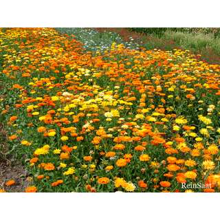 Ringelblume, gelb/orange - Calendula officinalis -...