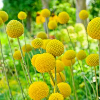 Craspedia, Trommelstock Billy Buttons - Craspedia globosa...