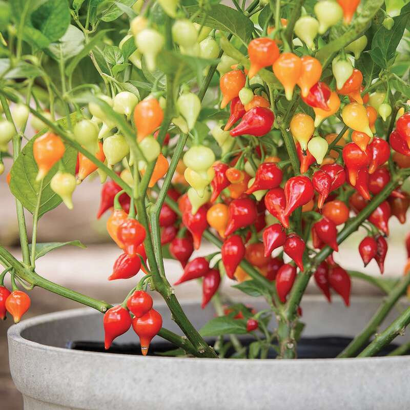 Chili Biquinho red - Capsicum chinense - Samen